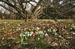 Schneeglöckchen im Grazer Stadtpark