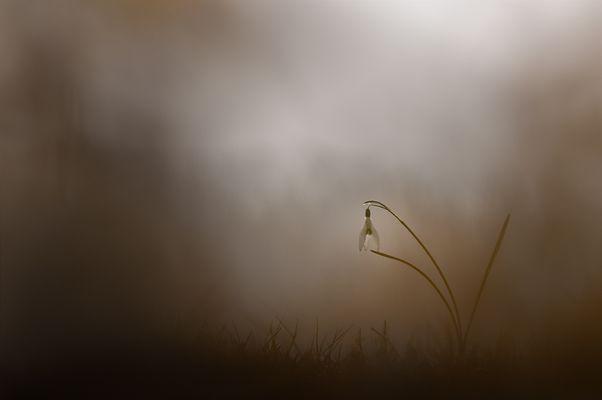 Schneeglöckchen im Nebel