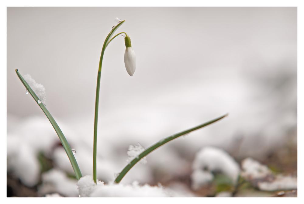 Schneeglöckchen in der Natur II