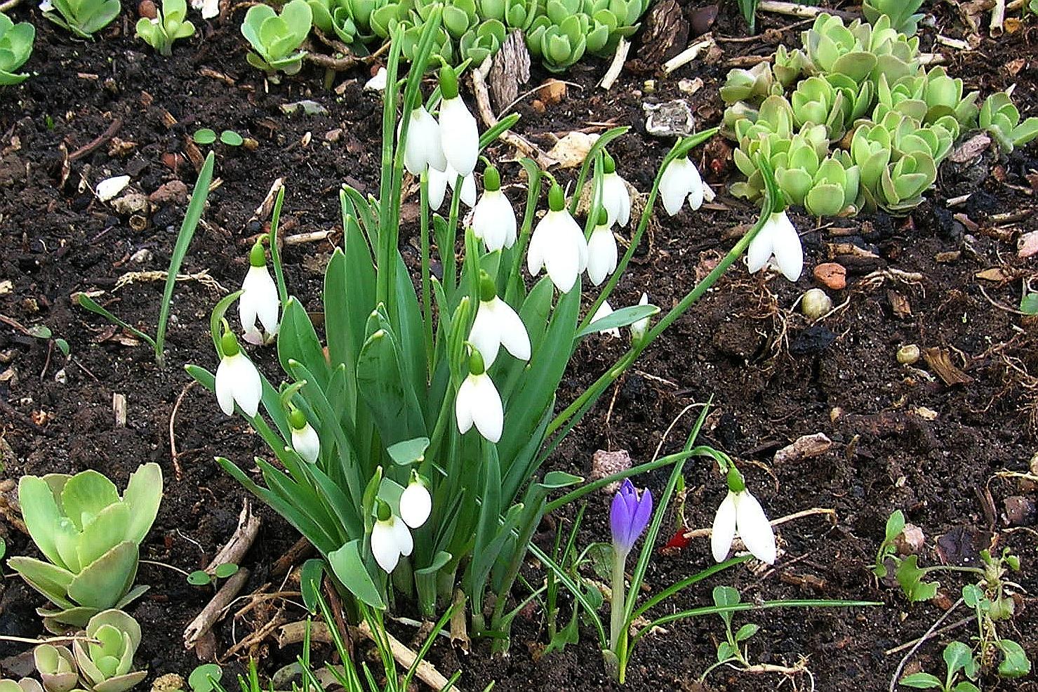 Schneeglöckchen läuten den Frühling ein