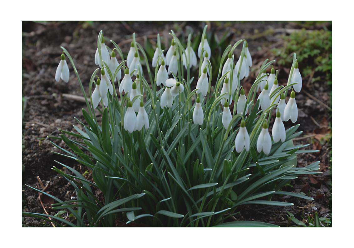 Schneeglöck'chen leuten den Frühling eine..!