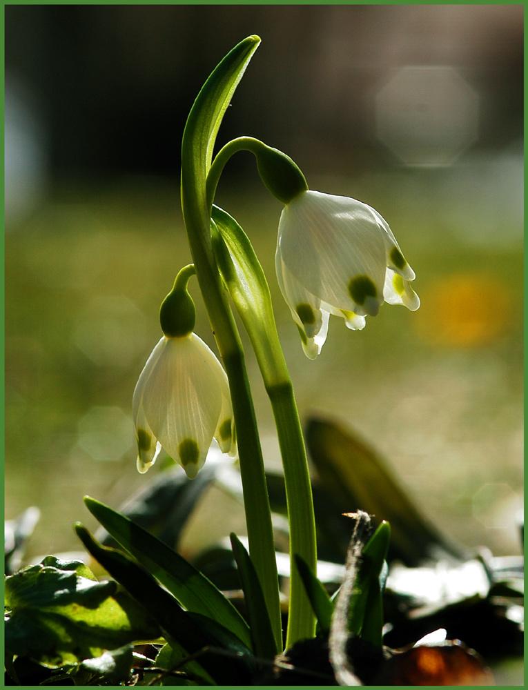 Schneeglöckchen weiß Röckchen ... :-)