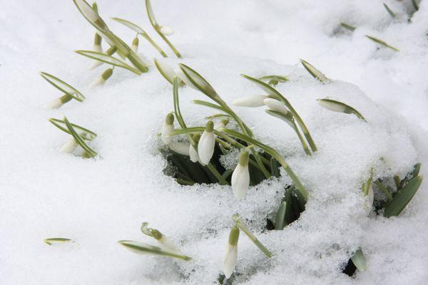Schneeglöckhen