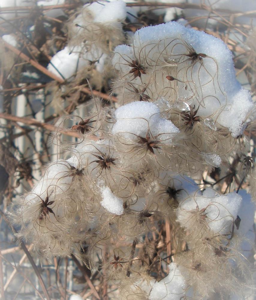 schneehäubchen
