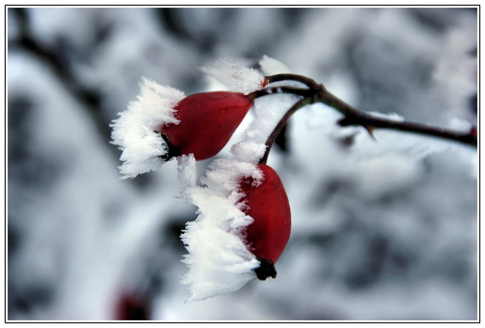 Schneehagebutte