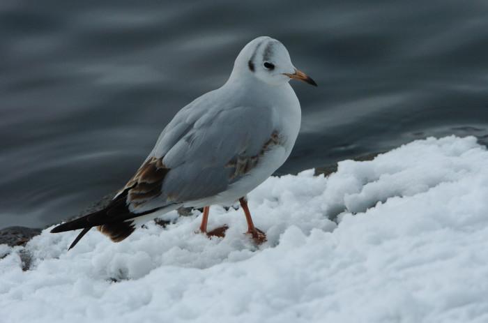 Schnee_Hamburg_Möwe