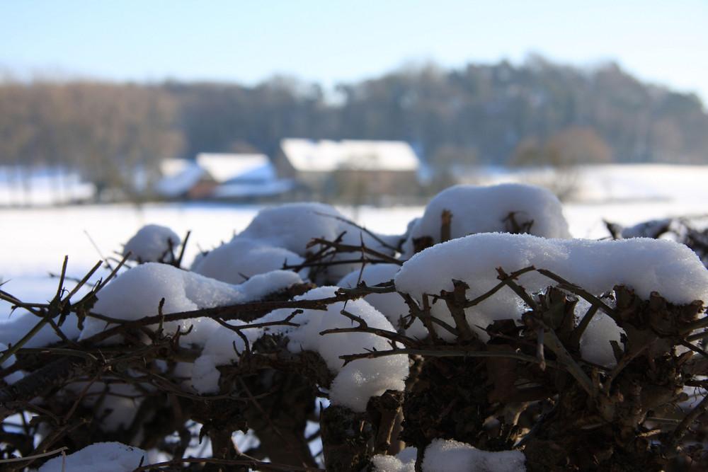 Schneehecke