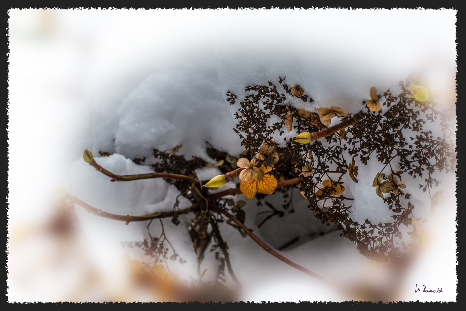 Schneehortensie 2