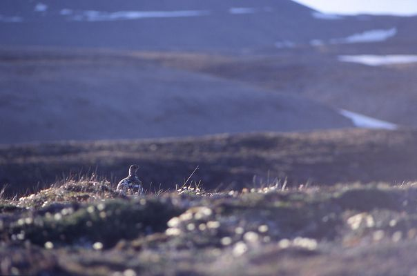 Schneehuhn (Lagopus mutus)