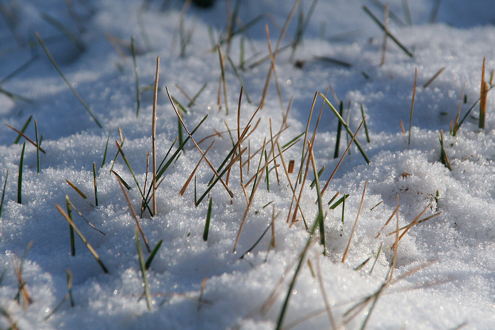 Schneeigel