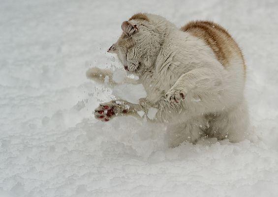 schneekater