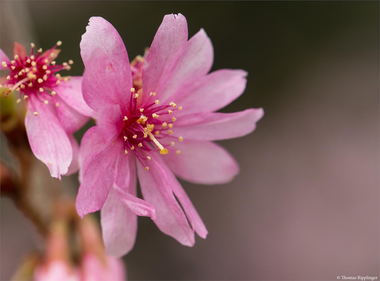 Schneekirsche Winterkirsche (Prunus subhirtella)...