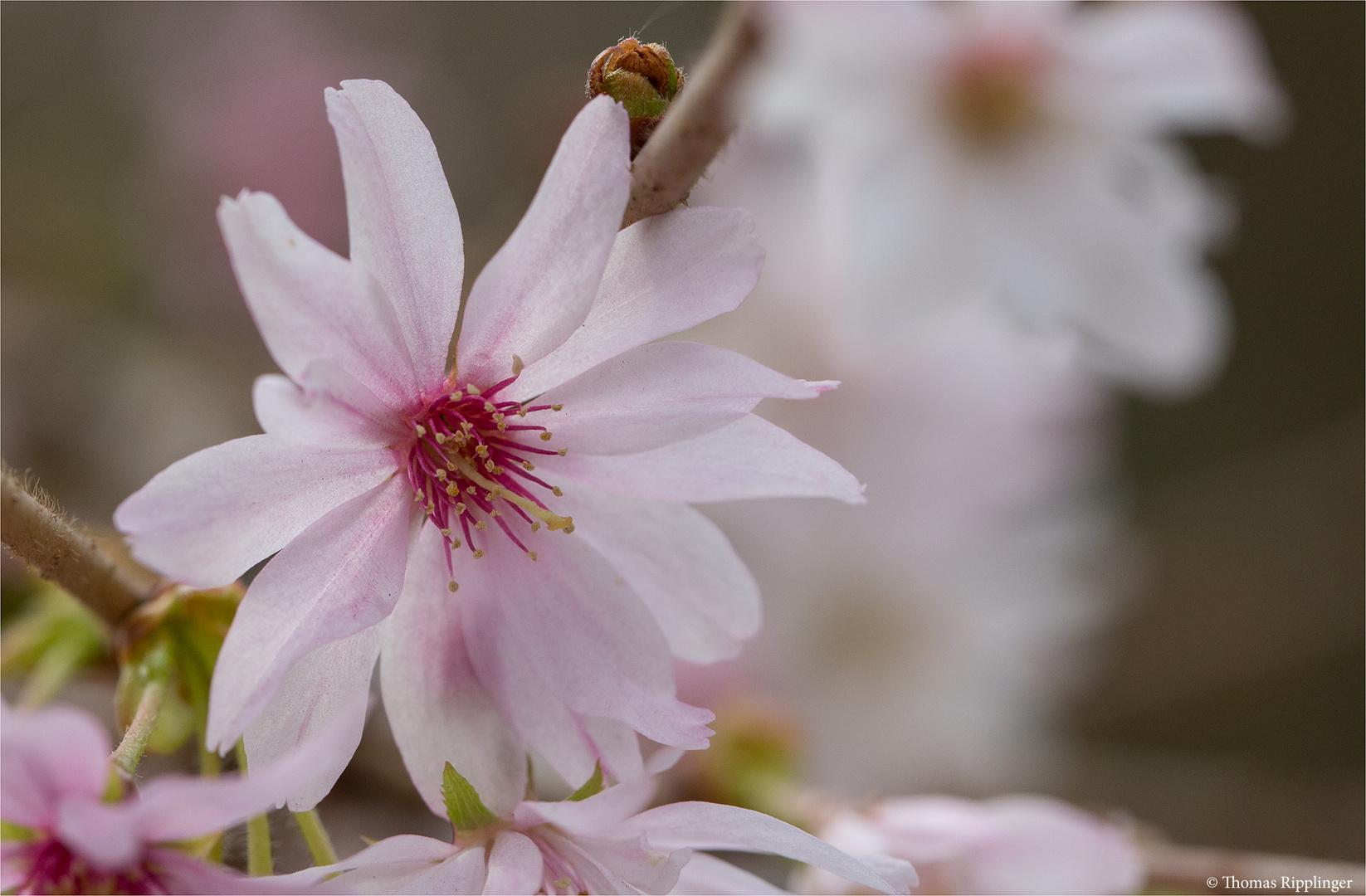 Schneekirsche Winterkirsche (Prunus subhirtella)