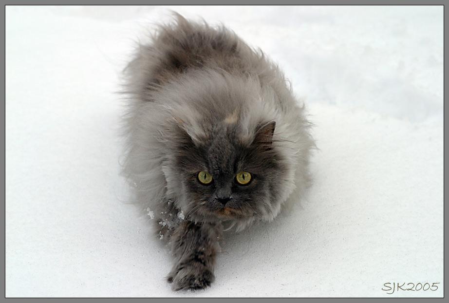 Schneeleopard auf der Jagd....
