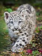 Schneeleopard Baby
