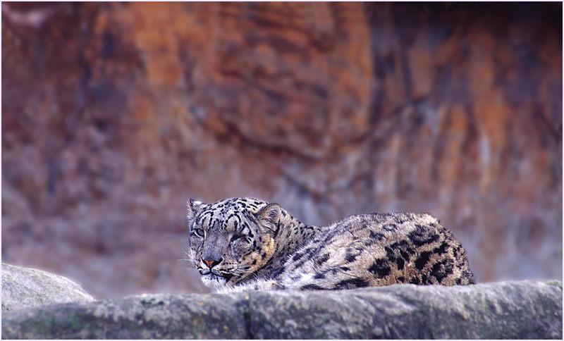Schneeleopard II