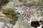 Schneeleopard im Kölner Zoo