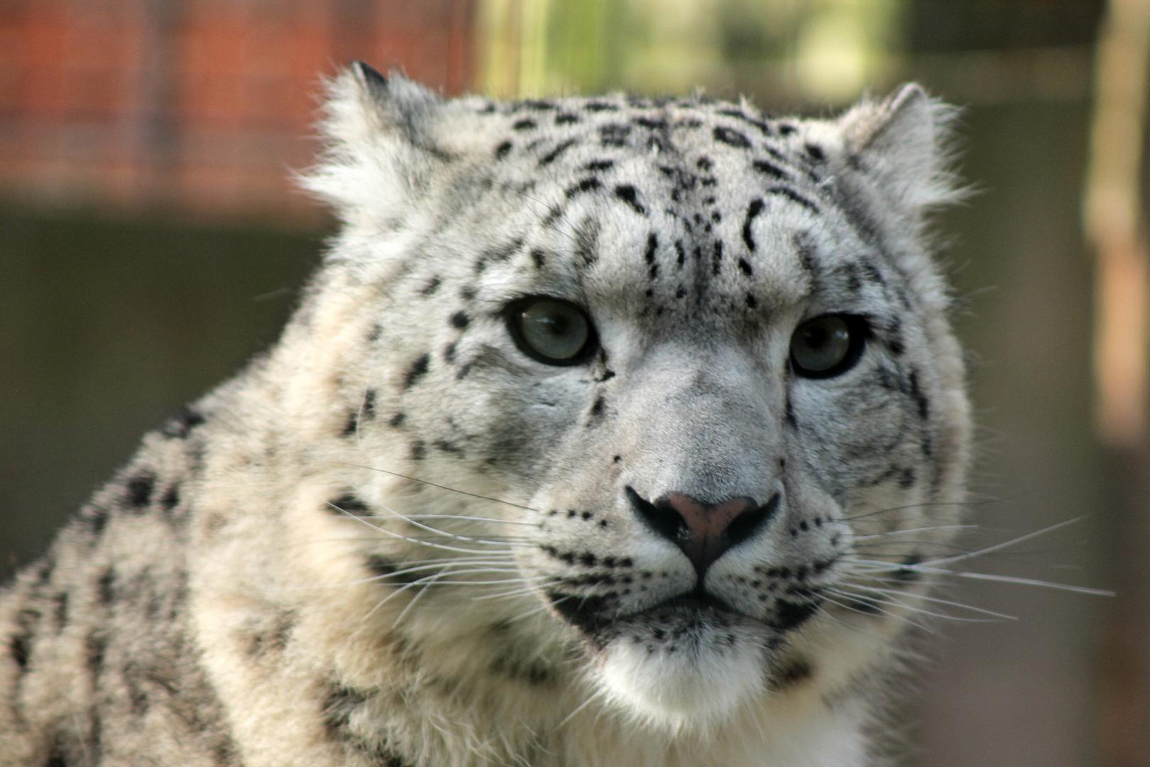 Schneeleopard im Krefelder Zoo