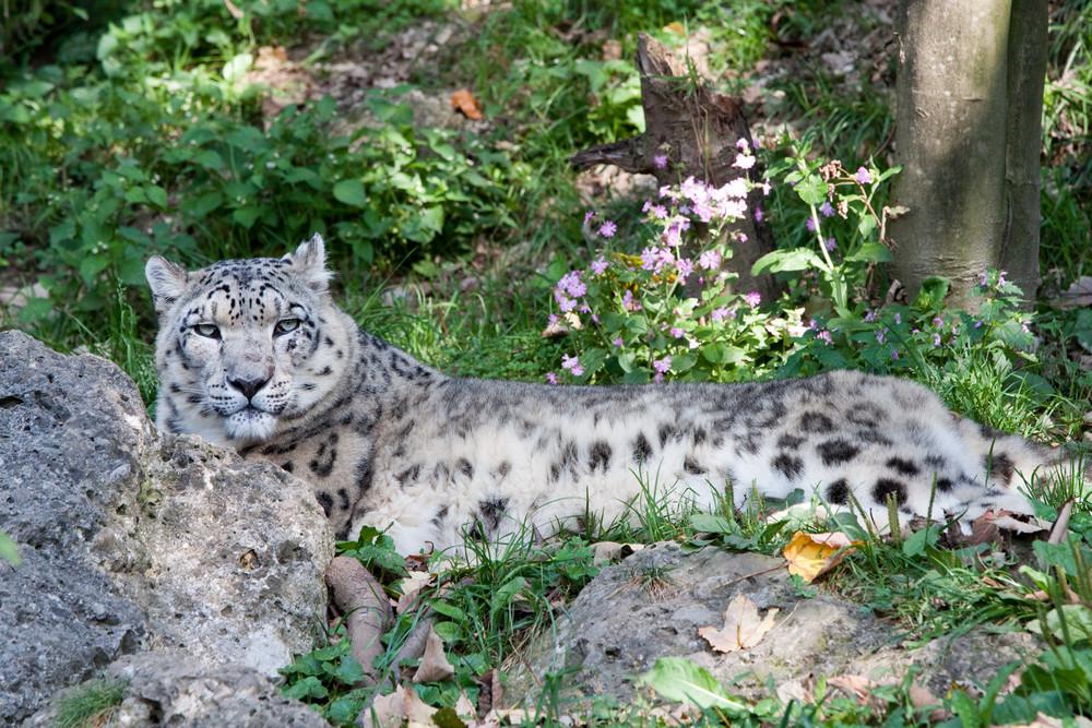 Schneeleopard im Salzburger Zoo