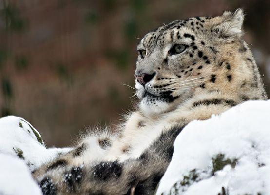 Schneeleopard im Schnee