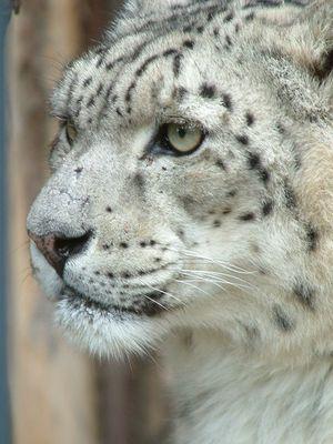 Schneeleopard im Zoo Dresden