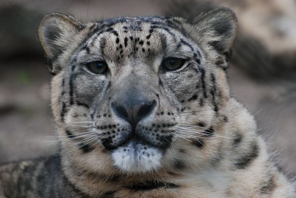 Schneeleopard im Zoo Wuppertal 01