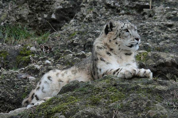 Schneeleopard in Hellbrunn