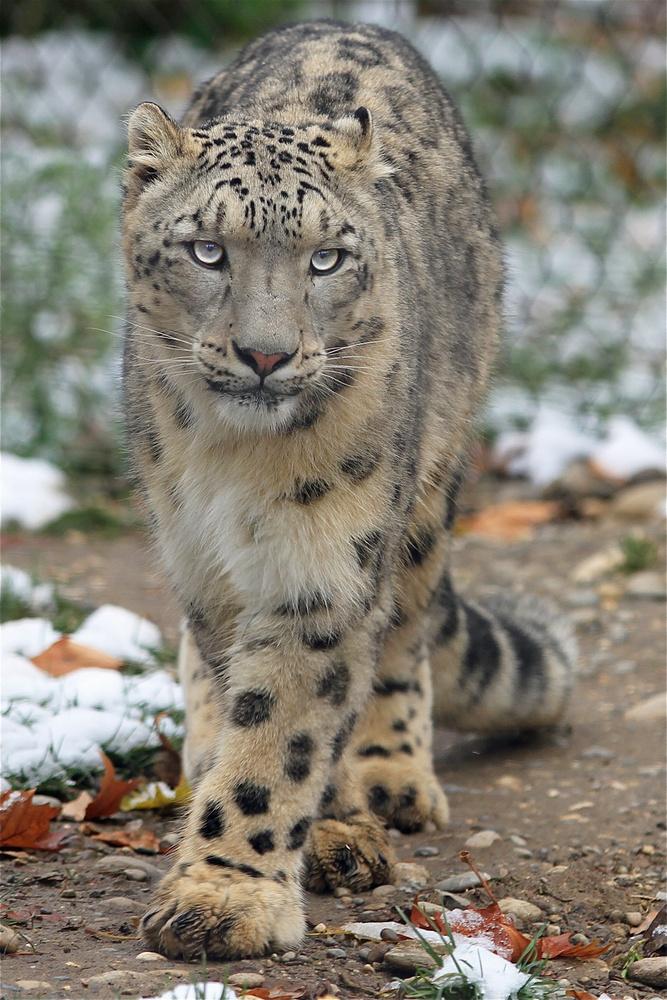 Schneeleopard liebt die kälte