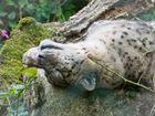 Schneeleopard macht Siesta