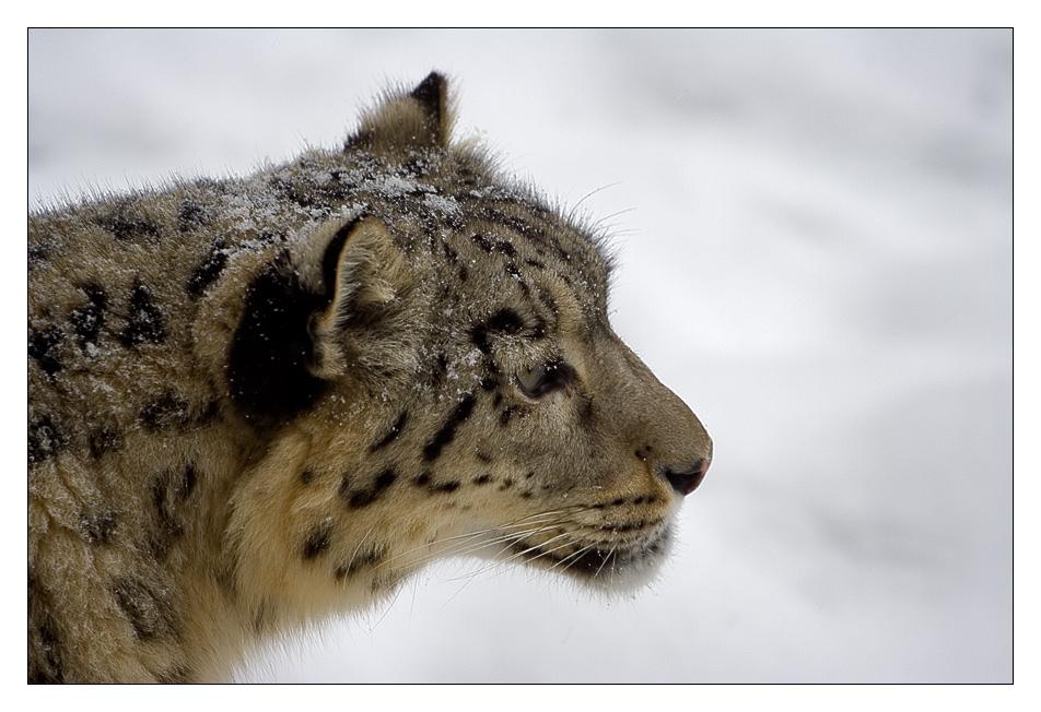Schneeleopard2