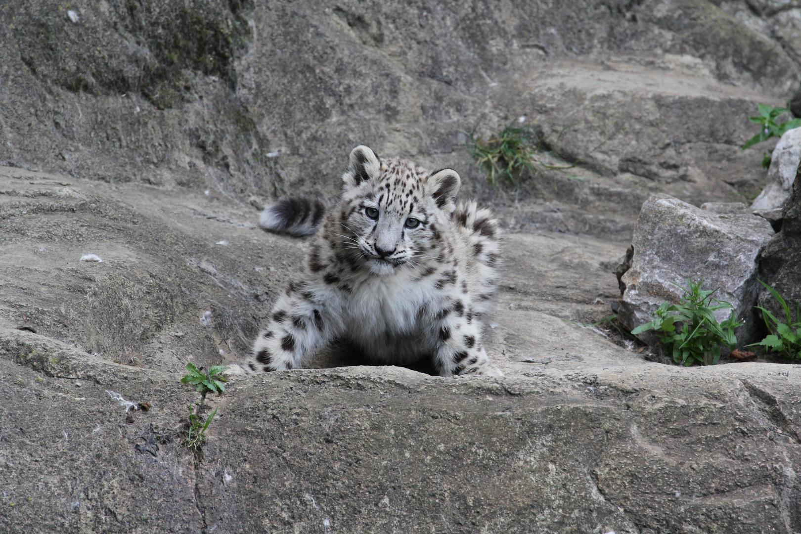 Schneeleoparden Baby