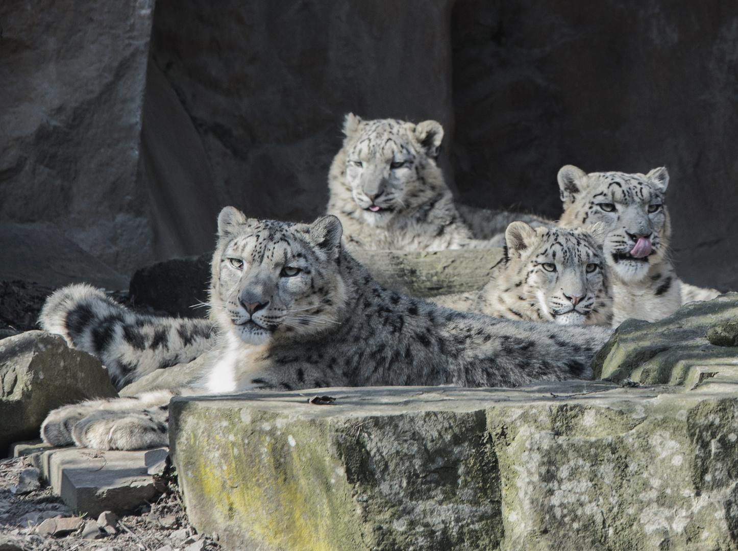 Schneeleoparden Familie