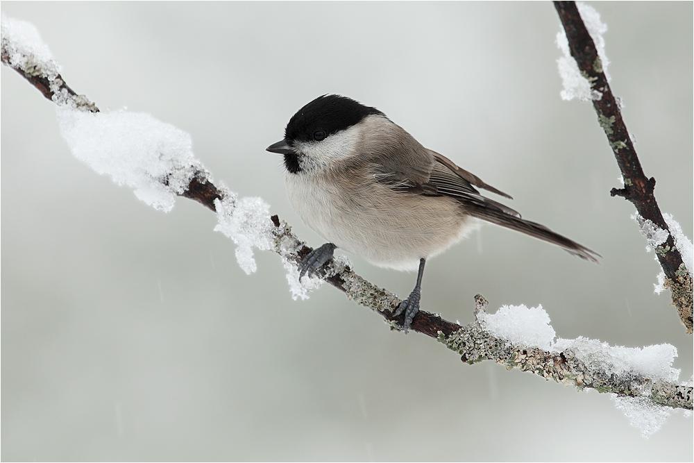 ~ Schneemeisi ~