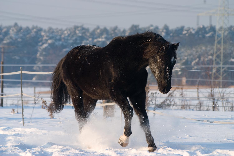 Schneepferd