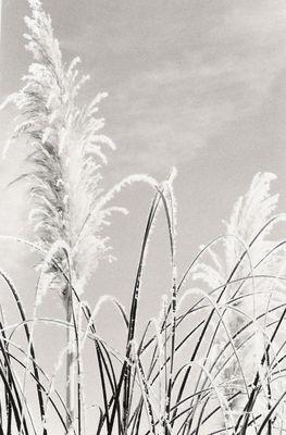 Schneepflanze