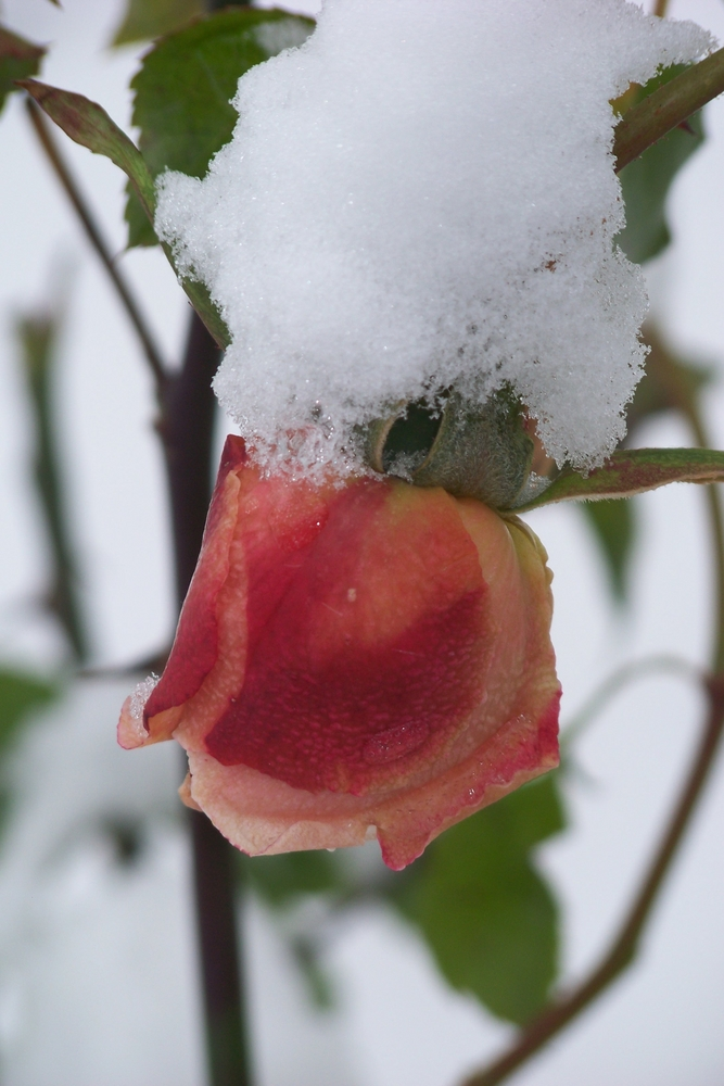 Schneerose