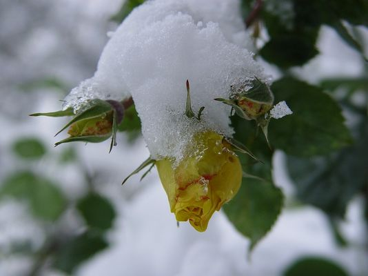 Schneerosen...