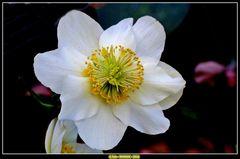 Schneerosen blühen