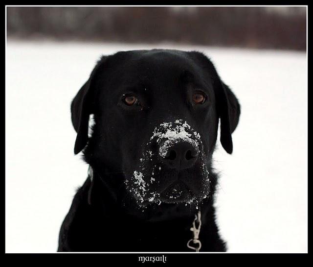 Schneeschnute