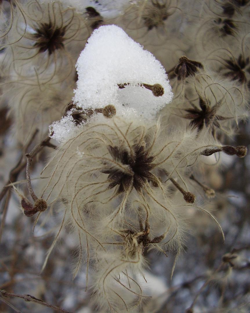Schneesternchen