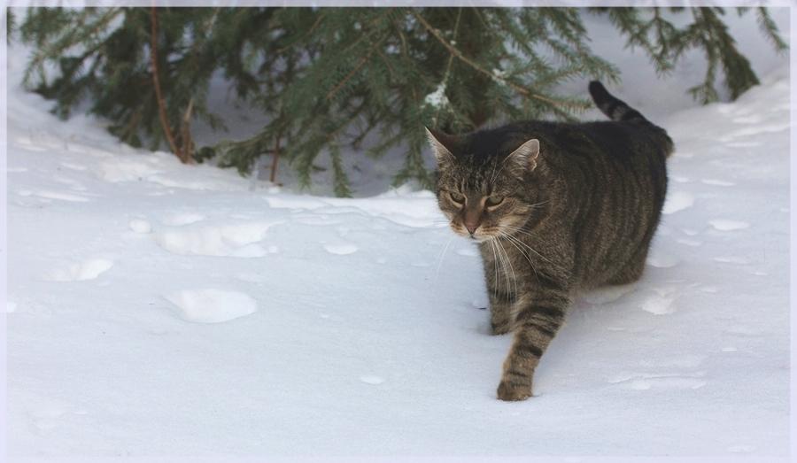 Schneetigerchen