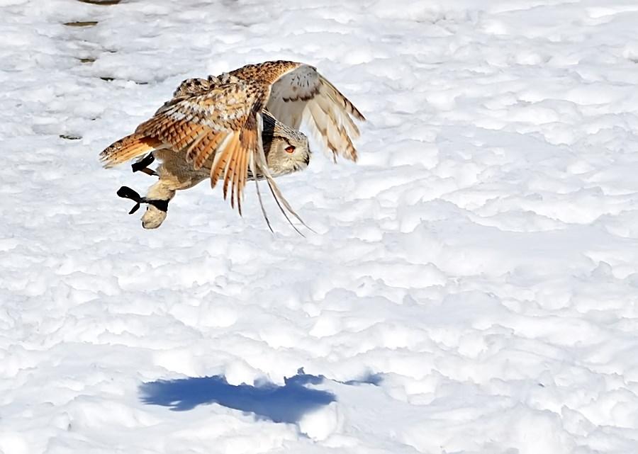 *Schneeüberflieger*