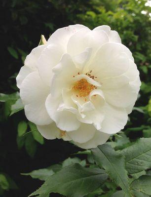 Schneeweisschen -Rose