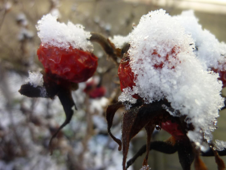 Schneeweißchen und Hagebutt