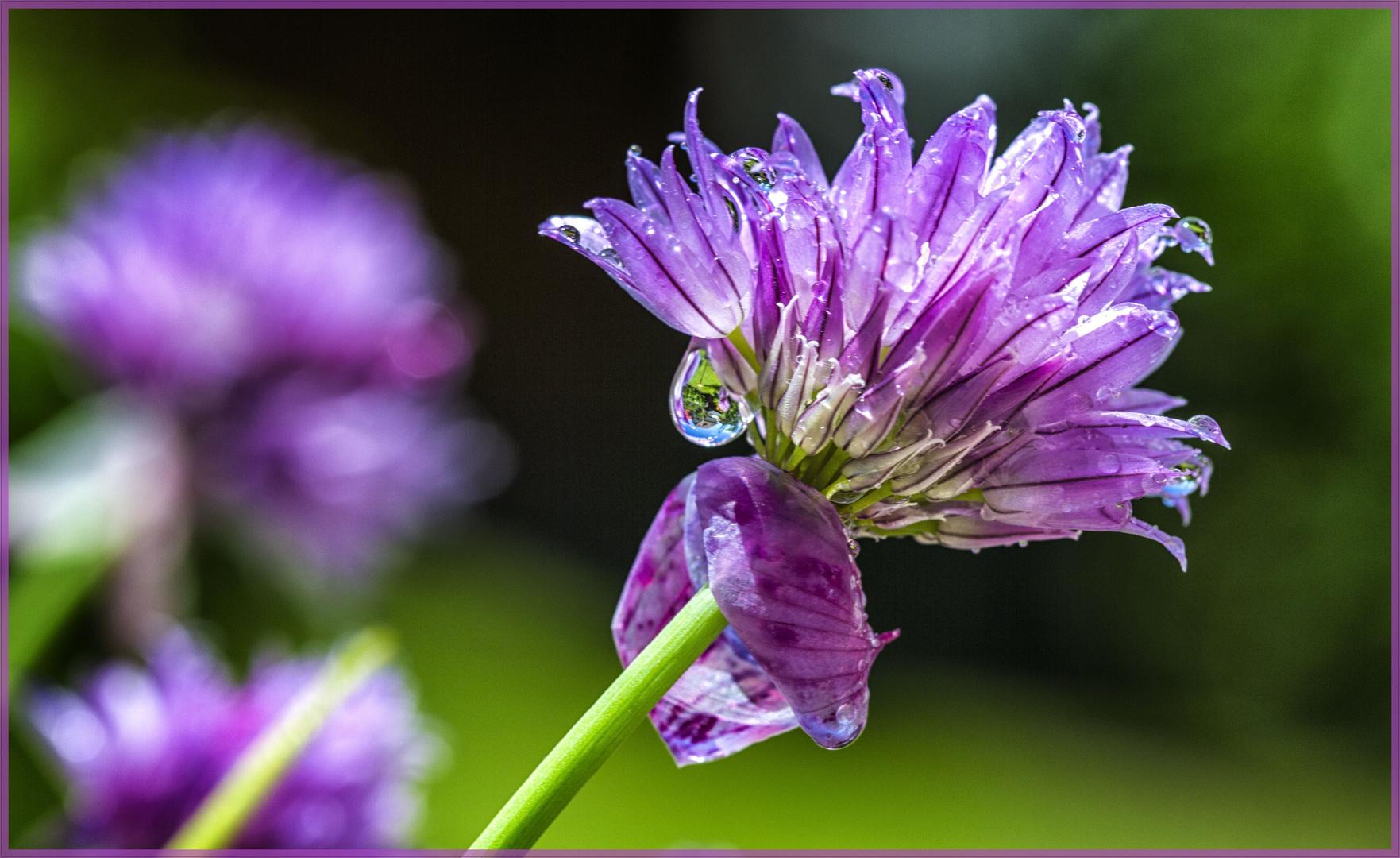 Schnittlauchblüte vom nächtlichen Regen reingewaschen