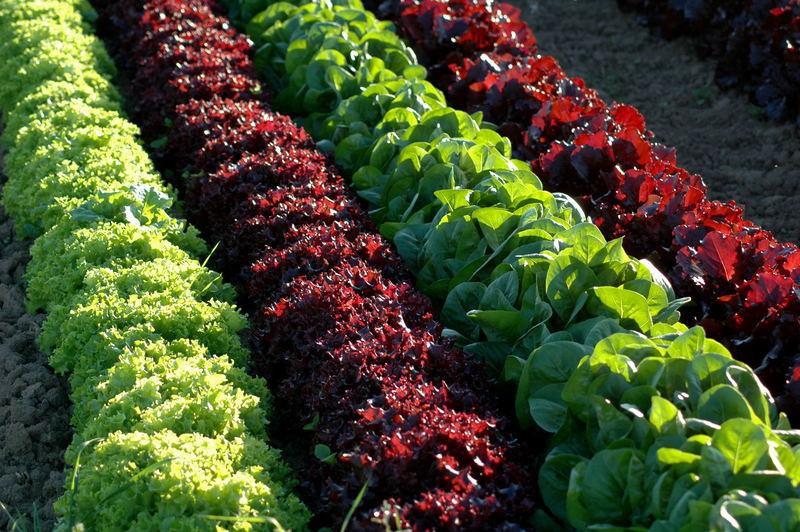 schnittsalat foto bild pflanzen pilze flechten getreide und feldfr chte salat bilder. Black Bedroom Furniture Sets. Home Design Ideas