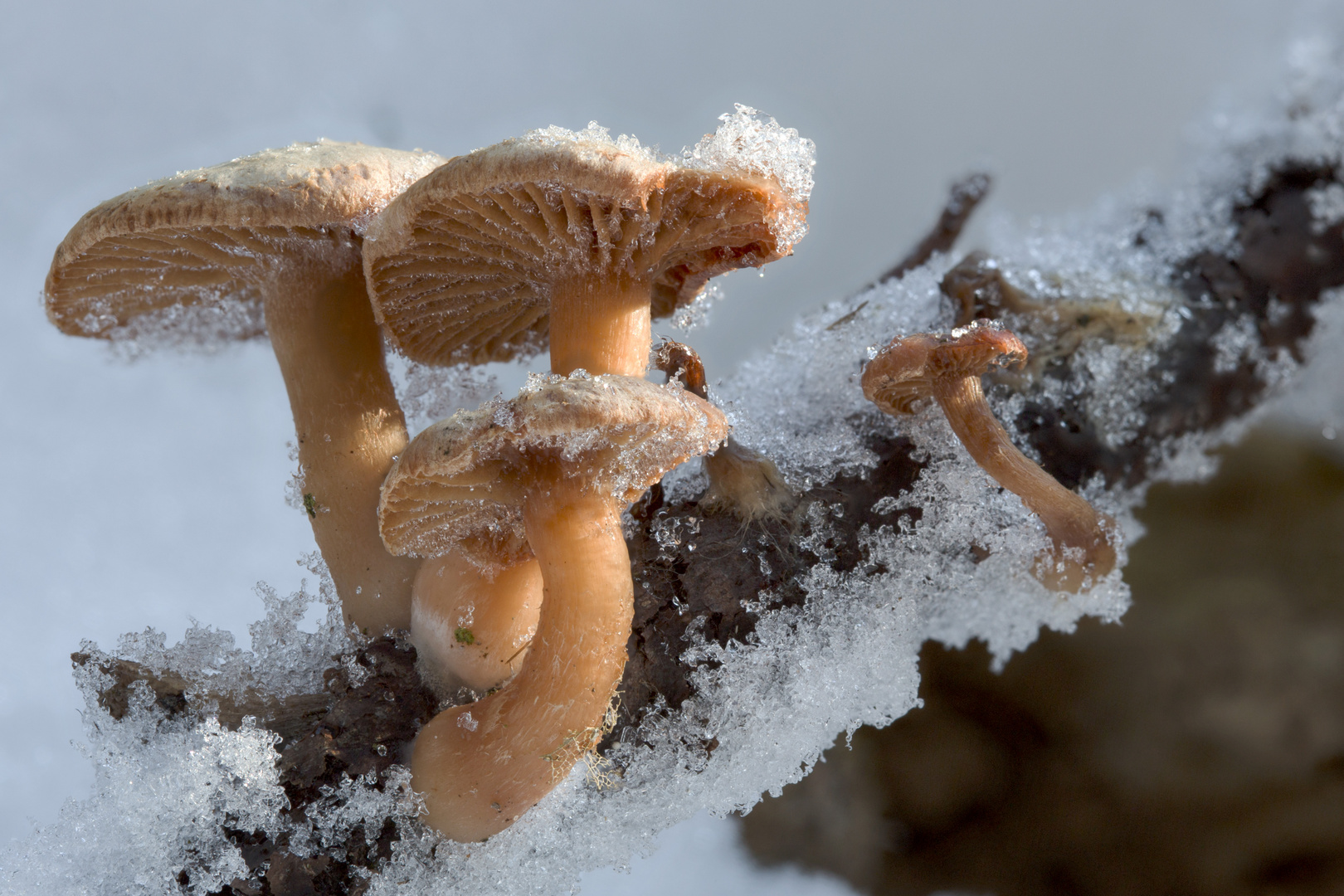 Schnitzlinge im Schnee