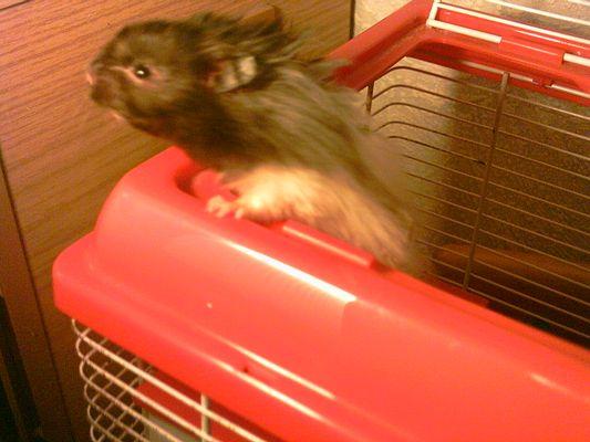 Schnuddel der Hamster meiner Schwester!