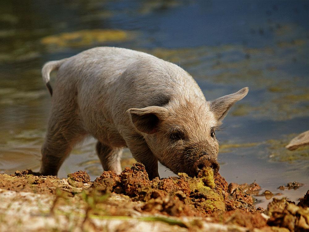 Schnüffelschwein