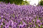 Schön lila